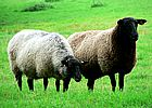 black-headed-sheep